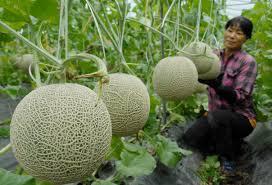 Dự án mở rộng Khu NNCNC ngành trồng trọt tại Củ Chi